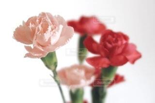 ピンクと赤のカーネーションの写真・画像素材[4671073]