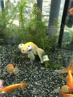 金魚ベストショットの写真・画像素材[4672401]