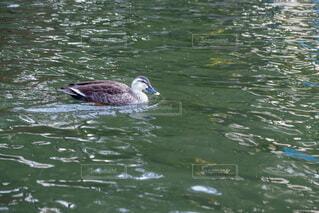 池を泳ぐカルガモの写真・画像素材[4680339]