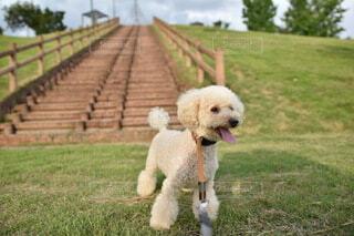 階段前の芝生で暑そうに立っているトイプードルの写真・画像素材[4673001]