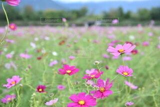コスモス畑の写真・画像素材[4673664]
