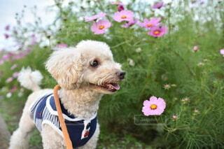 コスモス畑を散歩している犬の写真・画像素材[4673662]