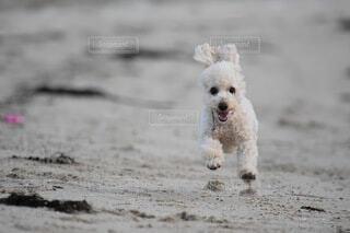 砂浜を駆ける犬の写真・画像素材[4673663]