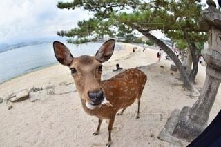 厳島神社のシカの写真・画像素材[4673667]