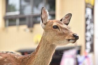 鹿のクローズアップの写真・画像素材[4673669]