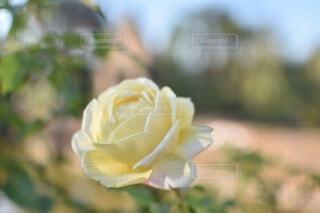 薔薇の花のクローズアップの写真・画像素材[4673670]