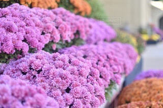 ピンクの菊の花畑の写真・画像素材[4673671]