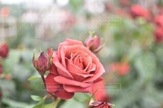 薔薇の花の写真・画像素材[4673678]
