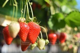 イチゴのクローズアップの写真・画像素材[4673682]