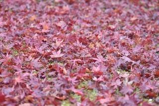 紅葉の絨毯の写真・画像素材[4673680]
