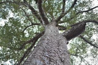 下から見上げた木の写真・画像素材[4673683]