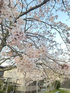 桜のズームアップ!の写真・画像素材[4675338]