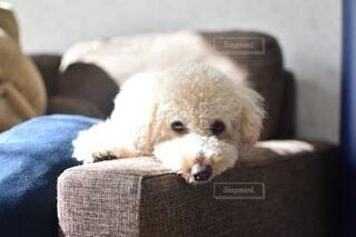 ソファで微睡んでいるトイプードルの写真・画像素材[4675337]