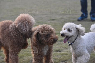 3匹の犬の挨拶の写真・画像素材[4675336]