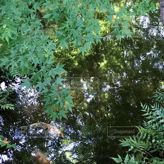 青紅葉と池の鯉の写真・画像素材[4675994]