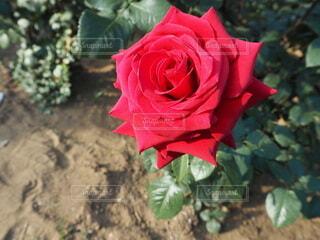 王道の赤い薔薇の写真・画像素材[4676678]