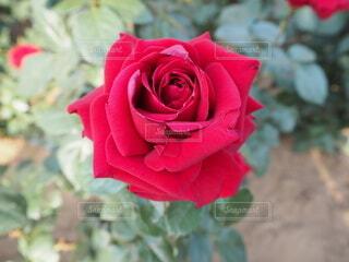 王道の赤い薔薇の写真・画像素材[4676679]