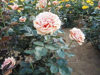 アンティークな雰囲気の薔薇の写真・画像素材[4676680]