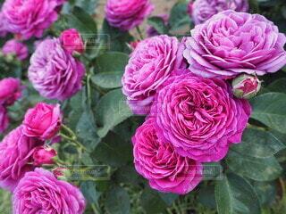 ひしめく薔薇の写真・画像素材[4676677]