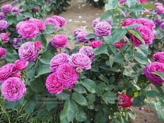 花びらが豪快な薔薇の写真・画像素材[4676681]
