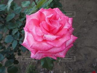 グラデーションが美しい薔薇の写真・画像素材[4676682]