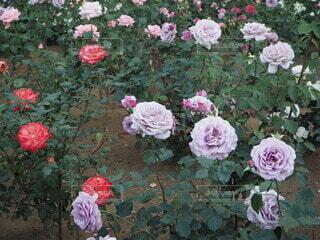 薔薇たちの写真・画像素材[4676685]
