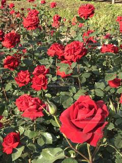 西日にあたる薔薇の写真・画像素材[4676675]