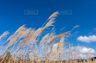 ススキと青空の写真・画像素材[4677872]