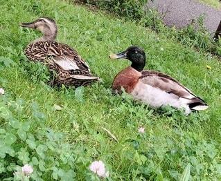 草の中に座っているアヒルの写真・画像素材[4677935]