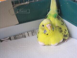 卵を温めるインコちゃんの写真・画像素材[4679546]