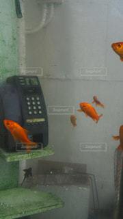 金魚の写真・画像素材[218133]