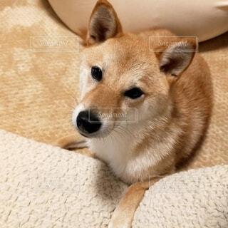 ベッドに横たわっている犬の写真・画像素材[4680025]
