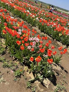 チューリップ畑⸜🌷︎⸝の写真・画像素材[4681462]