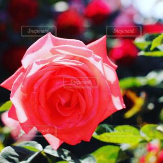 花の写真・画像素材[208548]