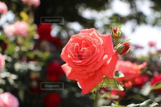 花の写真・画像素材[208549]