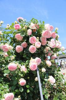 花の写真・画像素材[208550]