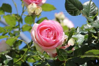 花の写真・画像素材[208551]