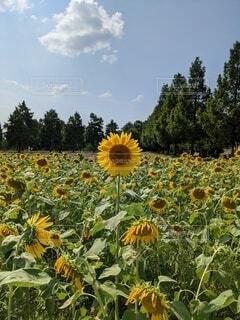 向日葵と夏空の写真・画像素材[4684732]