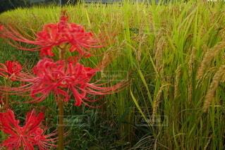 彼岸花とお米の写真・画像素材[4829620]
