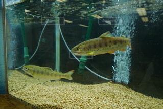 川魚の岩魚の写真の写真・画像素材[4873961]