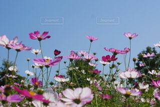 色とりどりのコスモスが綺麗の写真・画像素材[4886476]