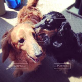 犬の写真・画像素材[232722]