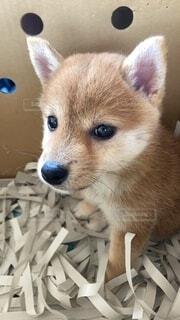 カメラを見る柴犬の写真・画像素材[4684720]