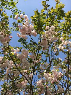 桜の写真・画像素材[434849]