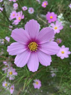 淡いピンク色のコスモス!の写真・画像素材[779930]