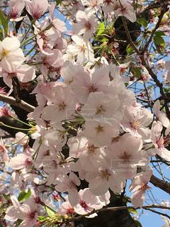 春です!の写真・画像素材[837242]