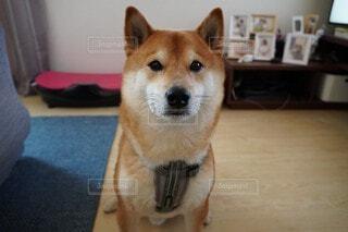 柴犬の写真・画像素材[4688175]
