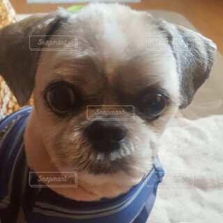 カメラを見ている小型犬の写真・画像素材[4828257]