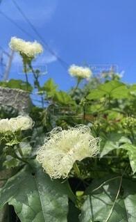 花のクローズアップ烏瓜の花の写真・画像素材[4692180]