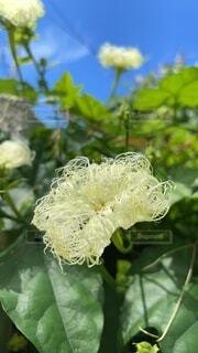 烏瓜の花クローズアップの写真・画像素材[4692181]